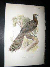 Allen 1890's Antique Bird Print. Grey Peacock Pheasant